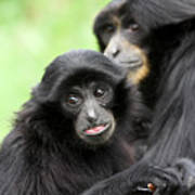 Baby Monkey And Mother Poster