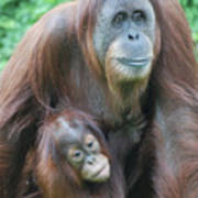 Baby Orangutan Clinging To His Mother Poster