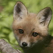 Baby Red Fox Poster