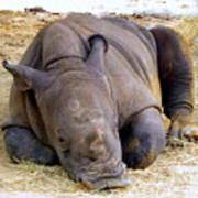 Baby Rhino Resting Poster