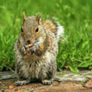 Baby Squirrel's First Peanut Poster