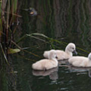 Baby Swans Poster