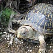 Baby Tortoise Poster