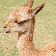 Baby Vicuna Poster
