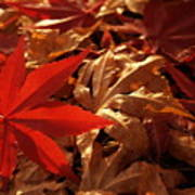 Back-lit Japanese Maple Leaf On Dried Leaves Poster