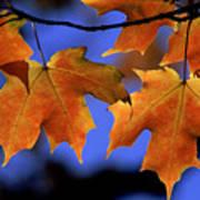 Backlit Maple Leaves Poster