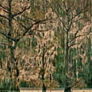 Backlit Moss-covered Trees Caddo Lake Texas Poster