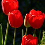 Backlit Red Tulips Poster