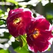 Backlit Roses Poster