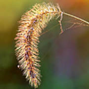 Backlit Seed Head In Fall Poster