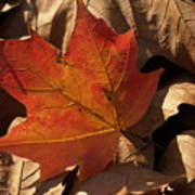 Backlit Sugar Maple Leaf In Dried Leaves Poster