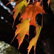 Backlit Sugar Maple Leaves With Trunk Poster