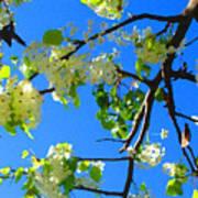 Backlit White Tree Blossoms Poster