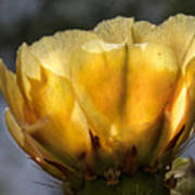 Backlit Yellow Cactus Flower Poster