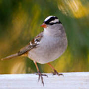 Backyard Bird - White-crowned Sparrow Poster