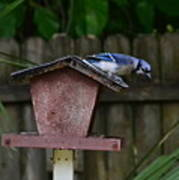 Backyard Blue Jay Poster