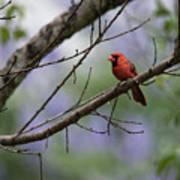 Backyard Cardinal Poster