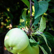 Backyard Garden Series - 2 Apples Poster