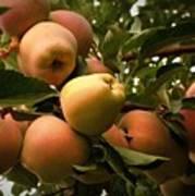 Backyard Garden Series - Apples Cluster Poster