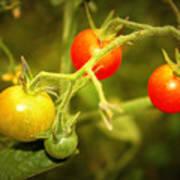 Backyard Garden Series - Cherry Tomatoes Poster