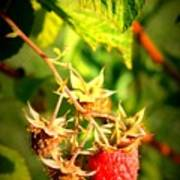 Backyard Garden Series - One Ripe Raspberry Poster
