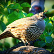 Backyard Garden Series - Quail In A Pear Tree Poster