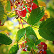 Backyard Garden Series - Sunlight On Raspberries Poster