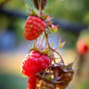Backyard Garden Series - The Freshest Raspberries Poster