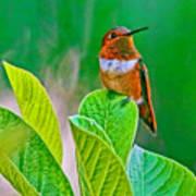 Backyard Hummingbird #22 Poster