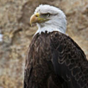 Bald Eagle - Portrait 2 Poster