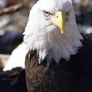 Bald Eagle 1 Poster