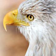 Bald Eagle 15 Poster
