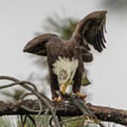 Bald Eagle Eating Fish Poster