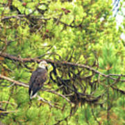 Bald Eagle In A Pine Tree, No. 5 Poster
