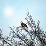 Bald Eagle In A Tree Enjoying The Sunlight Poster