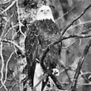 Bald Eagle In Black And White Poster
