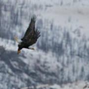 Bald Eagle In Flight-signed-#4016 Poster