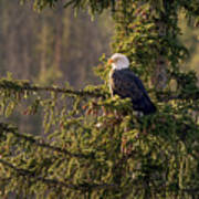 Bald Eagle In Pine Poster