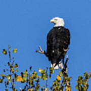 Bald Eagle In The Tree Poster
