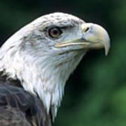 Bald Eagle On Guard Poster
