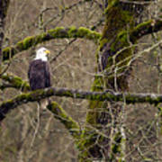 Bald Eagle On Mossy Branch Poster
