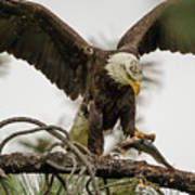 Bald Eagle Picking Up Fish Poster