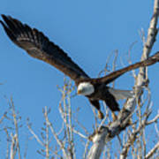 Bald Eagle Shows Its Focus Poster