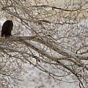 Bald Eagle-signed-#4879 Poster