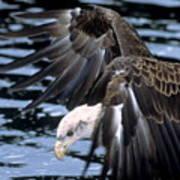 Bald Eagle Strikes Poster