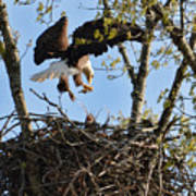 Bald Eagle Taking Fish To Nest 031520169678 Poster