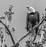 Bald Eagle Warning In Black And White Poster