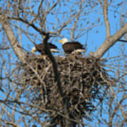 Bald Eagles Working On The Nest   3682 Poster