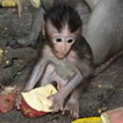 Balinese Baby Monkey Eating Poster