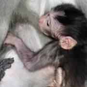 Balinese Baby Monkey Feeding Poster